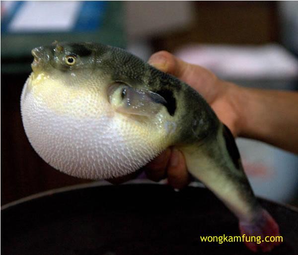 semangkuk sup racun - ikan buntal