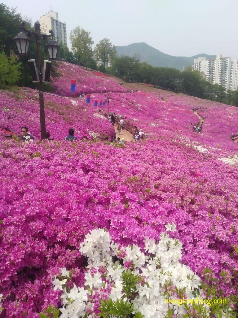 azalea - cherry blossom