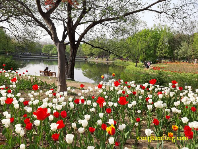 tulip - cherry blossom