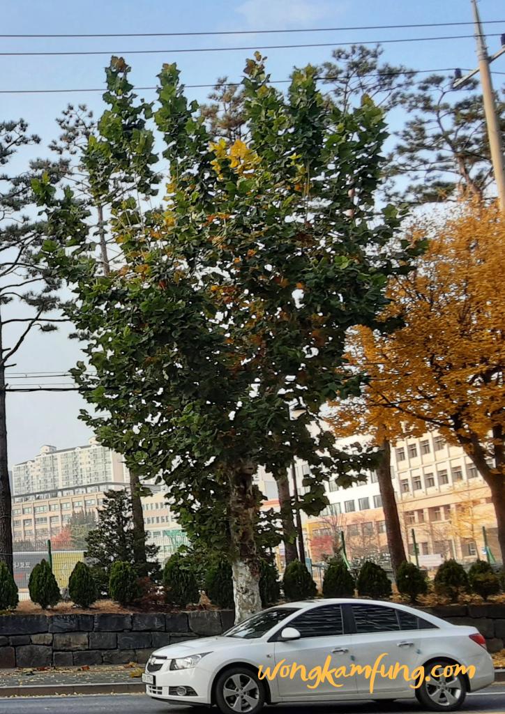 pohon sycamore - nasi bakar di korea