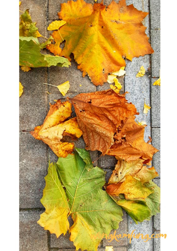 daun sycamore - nasi bakar di korea
